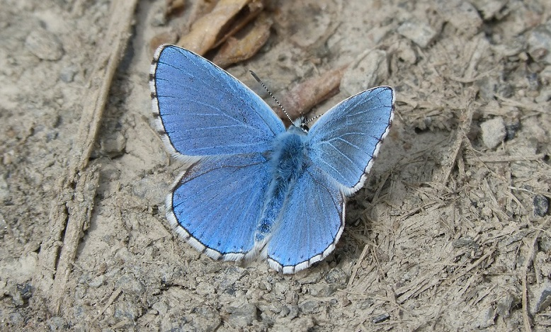 Blue Butterfly – Meaning and Symbolism