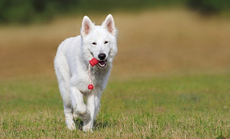 White Dog – Dream Meaning and Symbolism