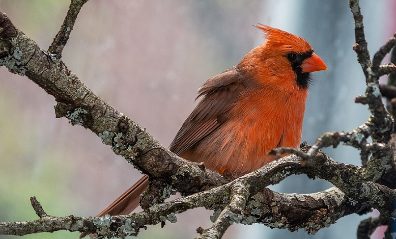 Red Bird, Cardinal – Spirit Animal, Biblical Meaning, Totem
