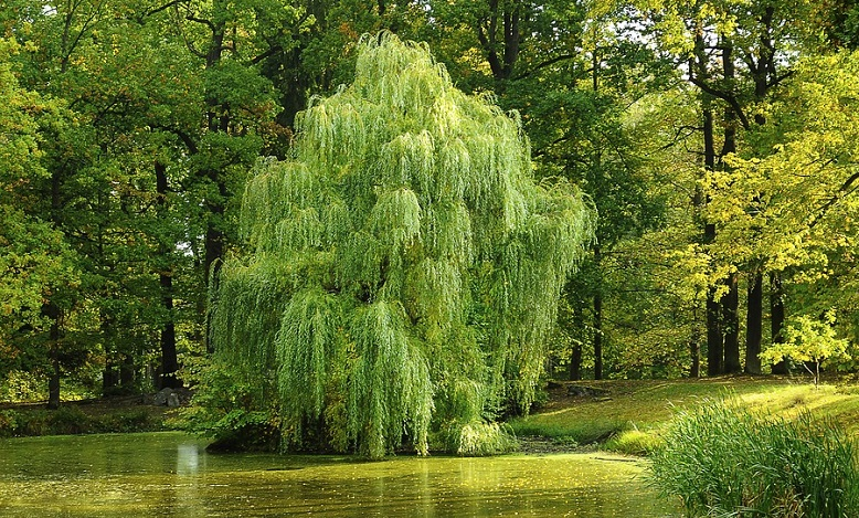 what does a willow tree symbolize
