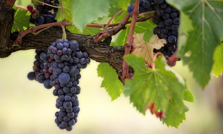 Grapes in Dream – Meaning and Symbolism