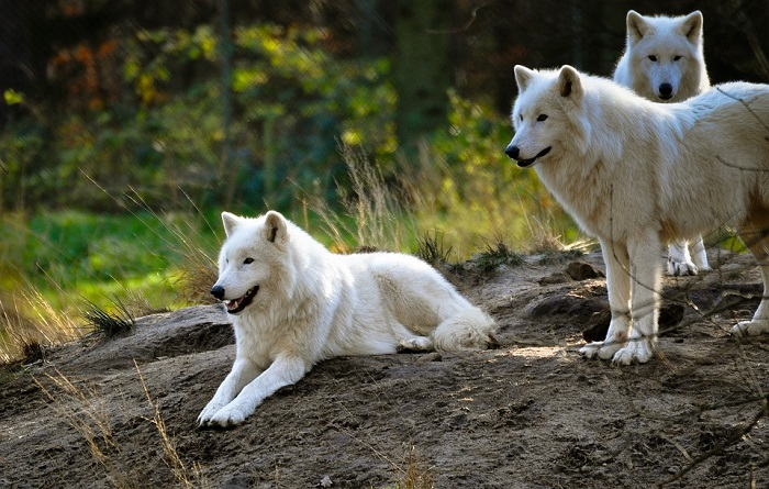 White Wolf in Dream