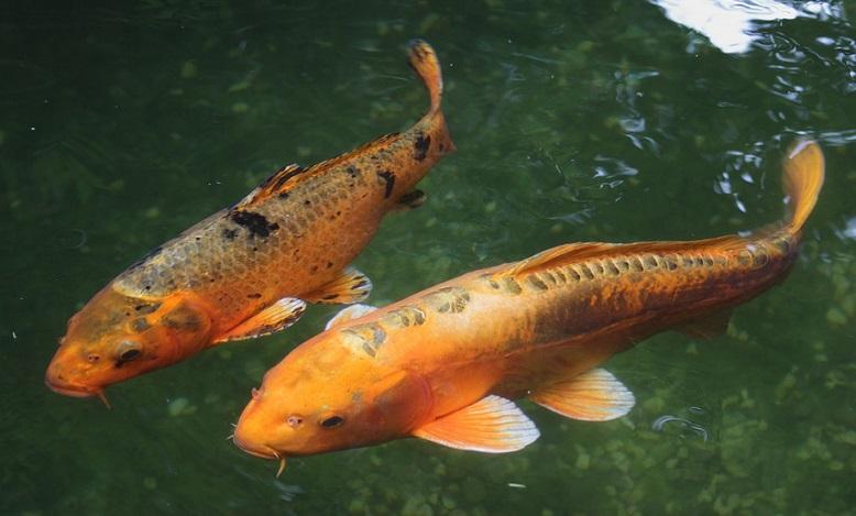 Dreams About Koi Fish